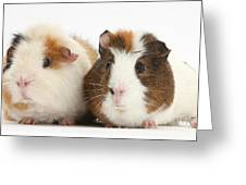 Two Guinea Pigs Greeting Card