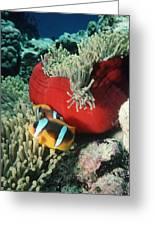 Twoband Anemonefish Greeting Card