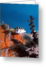 Valentini's Sharpnose Puffer Greeting Card by Georgette Douwma