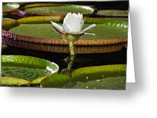 Water Lily Greeting Card by Johan Larson