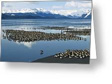 Western Sandpiper Calidris Mauri Flock Greeting Card