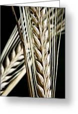 Wheat Ears (triticum Sp.) Greeting Card