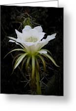 White Echinopsis Flower  Greeting Card
