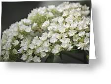 White Hydrangea Bloom Greeting Card
