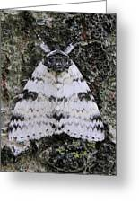 White Underwing Moth Greeting Card