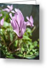 Wild Cyclamen Greeting Card