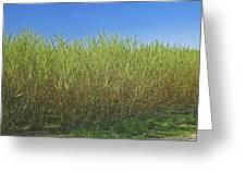 Willow Bioenergy Crop, Sweden Greeting Card