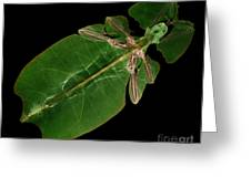 X-ray Of A Giant Leaf Insect Greeting Card