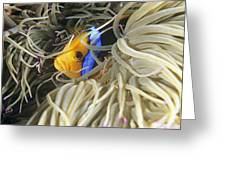 Yellowtail Anemonefish In Its Anemone Greeting Card by Alexis Rosenfeld