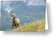 Young Bighorn Sheep, Windy Point Greeting Card