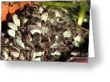 Zebra Mussels Dreissena Polymorpha Greeting Card