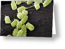 E. Coli Bacteria, Sem Greeting Card