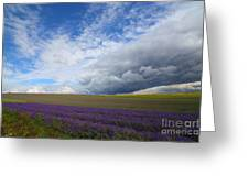 Lavenders Greeting Card