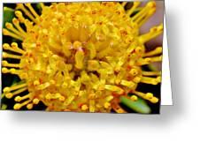 Pincushion Blossom Greeting Card