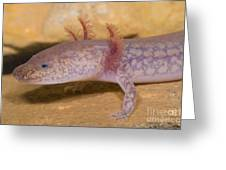West Virginia Spring Salamander Greeting Card