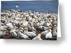 Gannet Colony Greeting Card