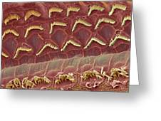 Inner Ear Hair Cells, Sem Greeting Card