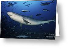 A Large 10 Foot Tiger Shark Swims Greeting Card