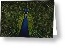 A Male Peacock Displays His Beautiful Greeting Card