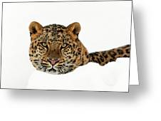 Amur Leopard In Snow Greeting Card
