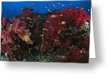 Anthias Fish Swim Near A Reef Wall Greeting Card