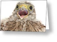 Baby Kestrel Greeting Card