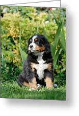 Bernese Mountain Dog Puppy  Portrait Greeting Card