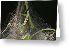 Bird-cherry Ermine Caterpillars Greeting Card