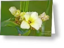 Blue-eyed Grass (sisyrinchium Striatum) Greeting Card