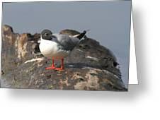 Bonaparts Gull Greeting Card
