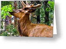 Browsing Elk In The Grand Canyon Greeting Card
