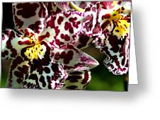 C Ribet Orchids Greeting Card