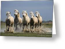 Camargue Horse Equus Caballus Group Greeting Card