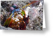 Close-up View Of A Mantis Shrimp, Papua Greeting Card