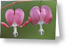 Close View Of Dutchmans Breeches, Or Greeting Card
