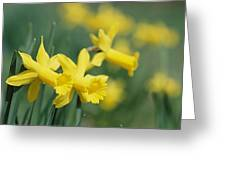 Close View Of Early Spring Daffodils Greeting Card