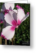 Cyclamen Named Victoria Greeting Card