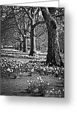 Daffodils In St. James's Park Greeting Card