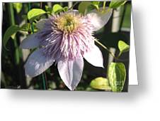Double Clematis Named Empress Greeting Card