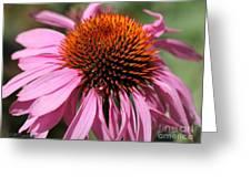 Echinacea Purpurea Or Purple Coneflower Greeting Card