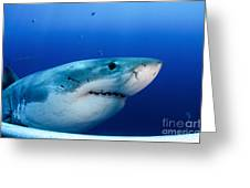 Great White Shark, Guadalupe Island Greeting Card