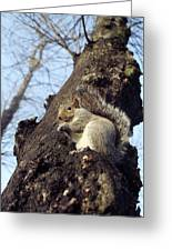 Grey Squirrel Greeting Card by Georgette Douwma