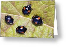 Harlequin Ladybirds Greeting Card