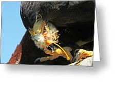 Harris Hawk Feeding Greeting Card