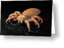 Head Louse, Artwork Greeting Card