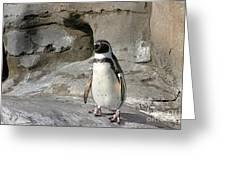 Humboldt Penguin Greeting Card