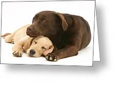 Labradoodle And Labrador Retriever Greeting Card