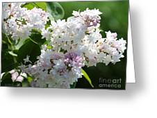 Lilac Named Beauty Of Moscow Greeting Card