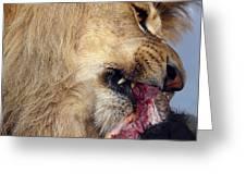 Lion Feeding Greeting Card