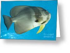 Longfin Spadefish, Papua New Guinea Greeting Card